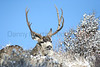 Mule Deer buck<br /> Larimer County, Colorado