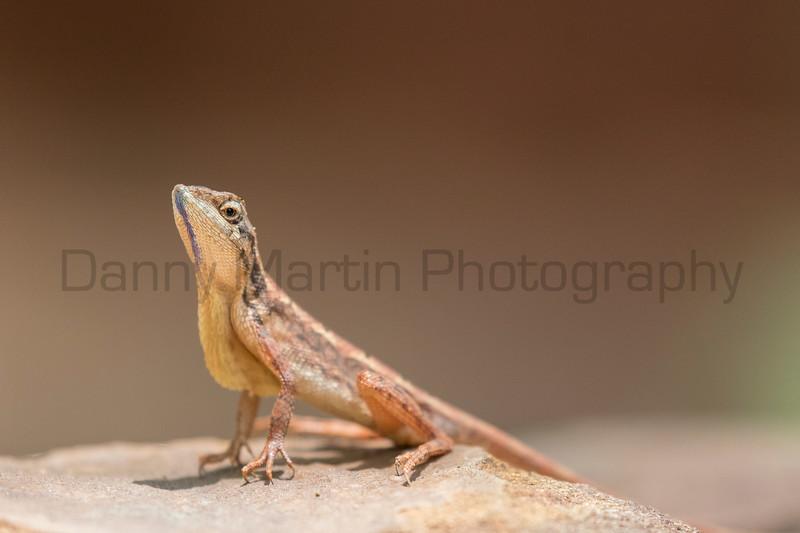 Spiny-headed Fan-throated Lizard<br /> Telangana, India