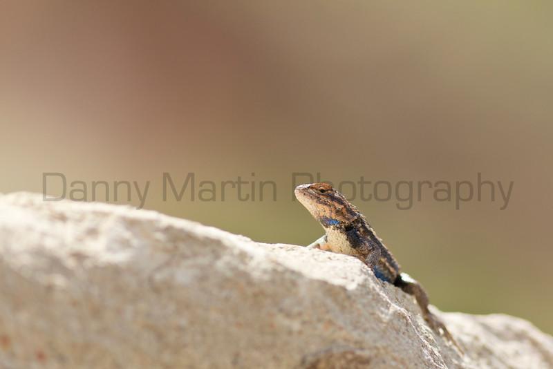 Prairie Lizard (male)<br /> Randall County, Texas