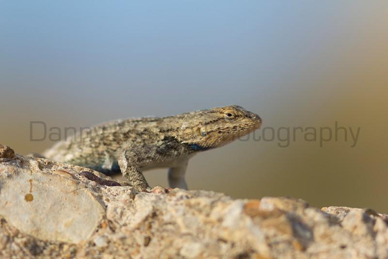 Prairie Lizard (male)<br /> Otero County, Colorado
