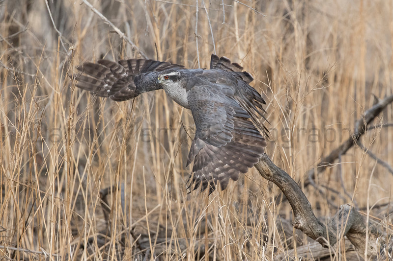 Northern Goshawk hunting a cottontail