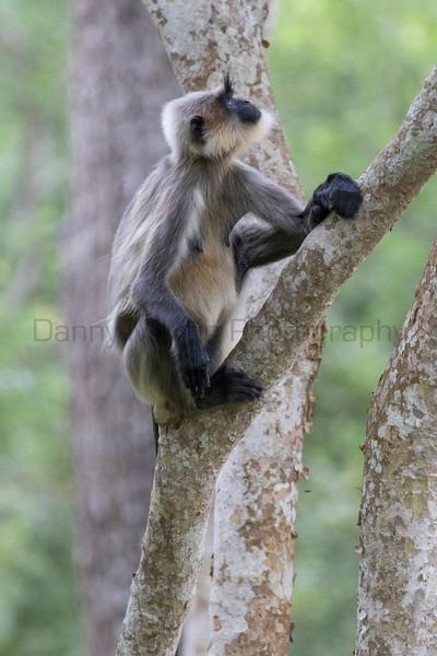 Hanuman (Gray) Langur<br /> Karnataka, India