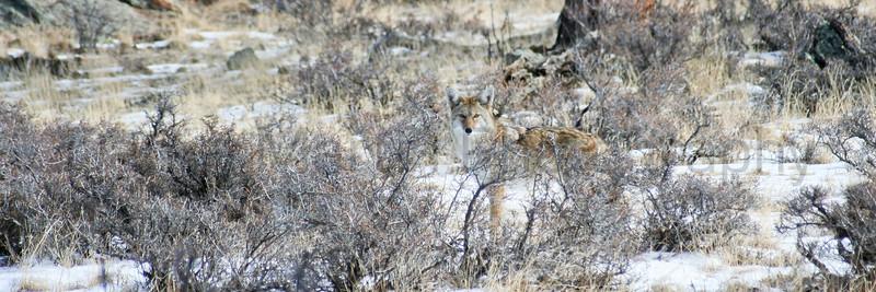 Coyote in snow<br /> Larimer County, Colorado