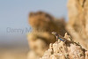 Prairie Lizard basking Cimarron County, Oklahoma.