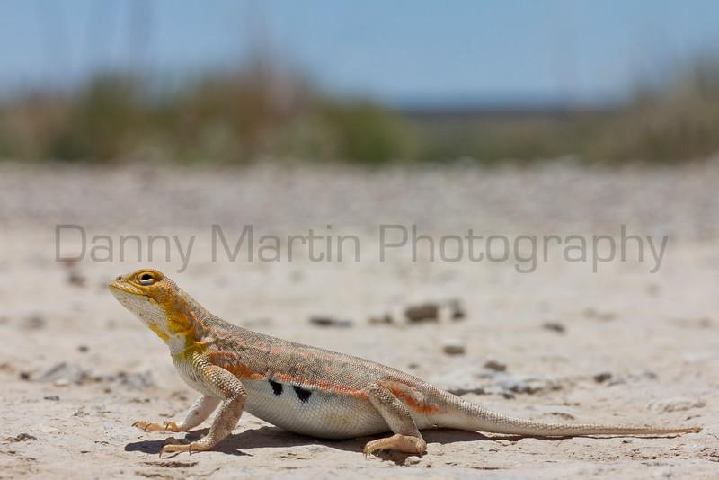 Lesser Earless Lizard (gravid female)<br /> Comanche National Grassland, Otero County, Colorado
