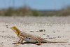 Lesser Earless Lizard (gravid female)<br /> Comanche National Grassland, Otero County, Colorado