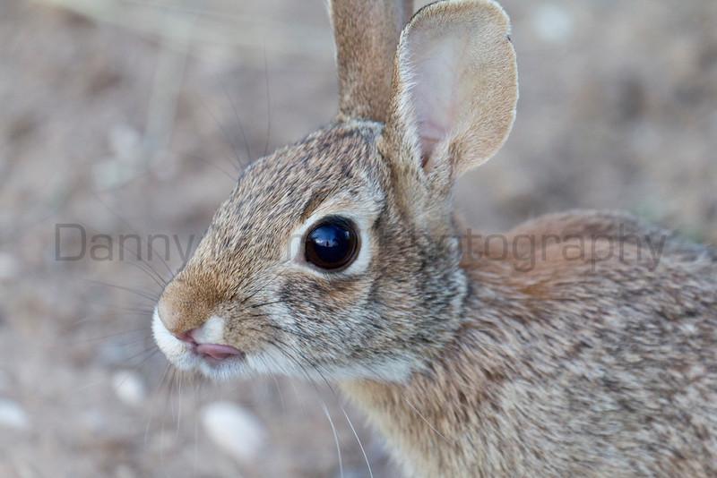 Cottontail<br /> Muleshoe National Wildlife Refuge, Texas