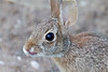 Cottontail<br /> Muleshoe National Wildlife Refuge, Texas