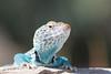 Eastern Collared Lizard (male)<br /> Hidalgo County, New Mexico