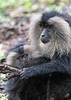 Lion-tailed Macaque pulling a leech from her foot, for brunch!<br /> Tamil Nadu, India