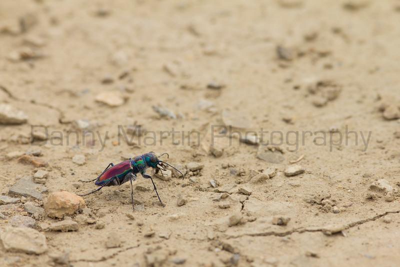 Beautiful Tiger Beetle<br /> Las Animas County, Colorado.