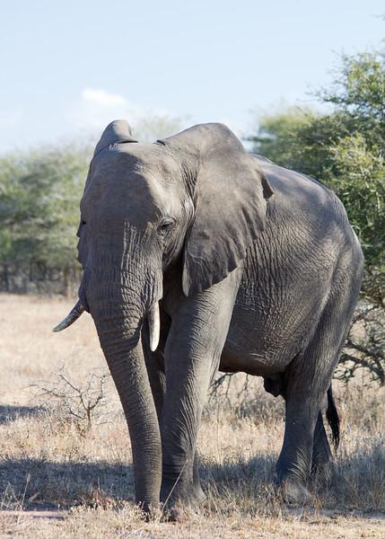 African Elephant bull<br /> Kruger National Park, South Africa