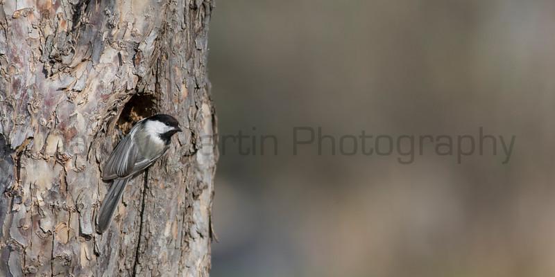 Black-capped Chickadee at nest cavity<br /> Larimer County, Colorado