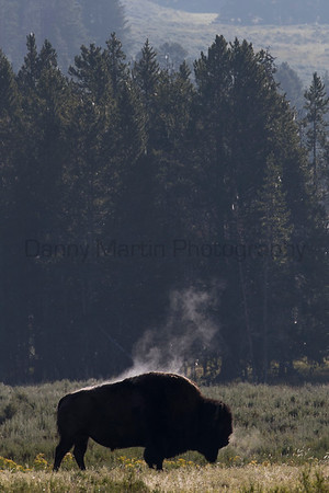 American Bison steaming off after crossing a river.<br /> Wyoming