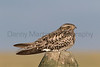 Common Nighthawk perched on fencepost<br /> Weld County, Colorado