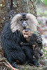 Lion-tailed Macaques<br /> Tamil Nadu, India
