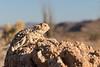 Desert Horned Lizard (basking)<br /> San Diego County, California