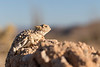 Desert Horned Lizard (basking)<br /> San Diego County, California