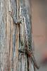 Southwestern Fence Lizard<br /> Brewster County, Texas