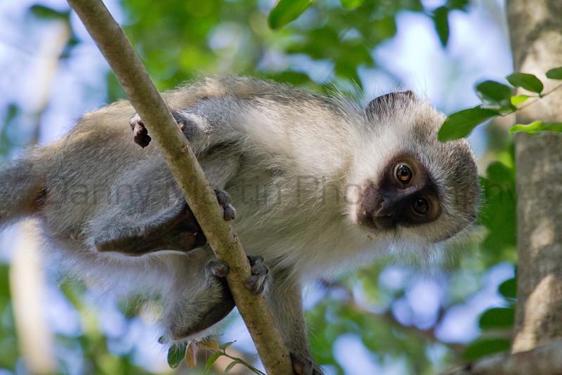 Vervet Monkey (juvenile)<br /> Kruger National Park, South Africa
