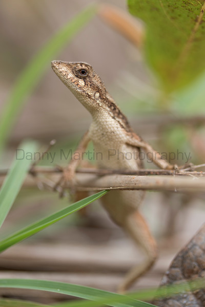 Spiny-headed Fan-throated Lizard<br /> Telangana, India