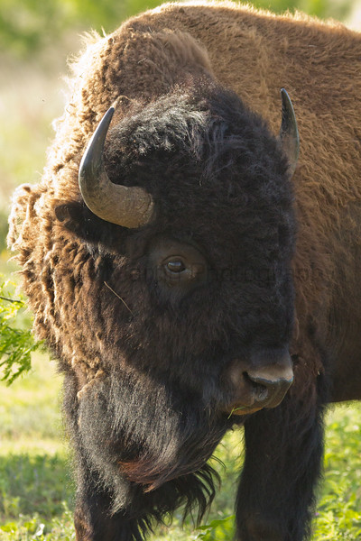 Bison bull<br /> Caprock Canyon State Park, Texas