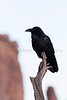 Common Raven<br /> Grand County, Utah