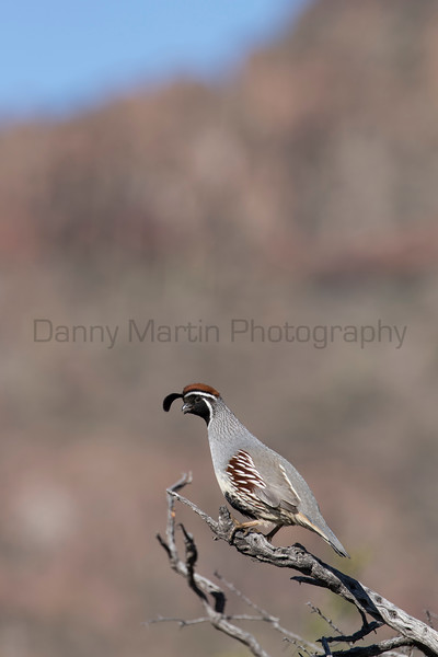 Gambel's Quail (male)<br /> Sonoran Desert of Pima County, Arizona.