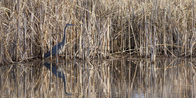 Great Blue Heron in cattails<br /> Larimer County, Colorado