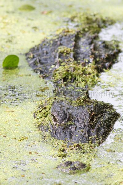 American Alligator<br /> Jefferson Parish, Louisiana