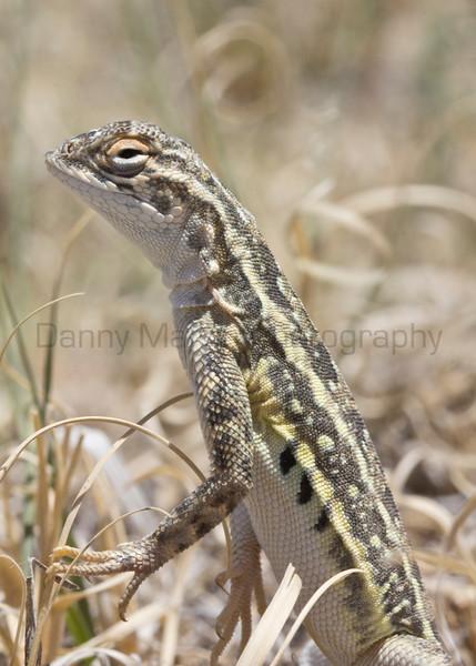 Lesser Earless Lizard (male)<br /> Comanche National Grassland, Otero County, Colorado