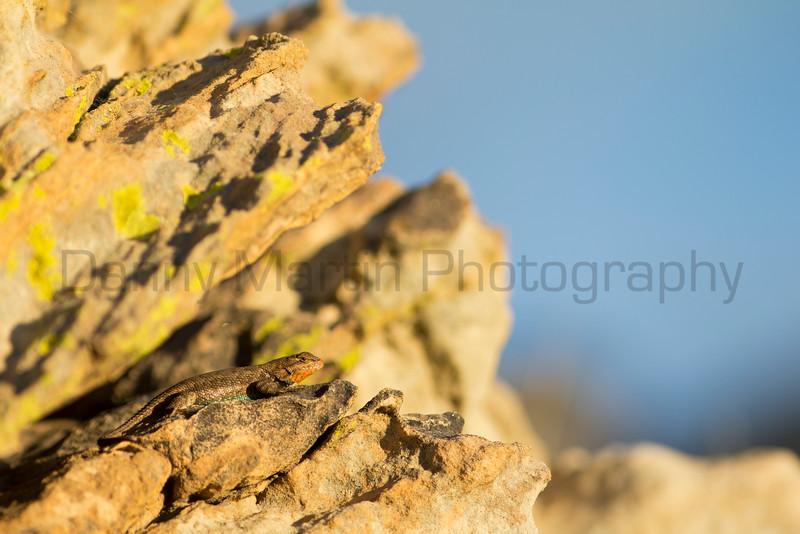 Plateau Fence Lizard (male)<br /> Cimarron County, Oklahoma