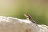 Prairie Lizard (male) Randall County, Texas.