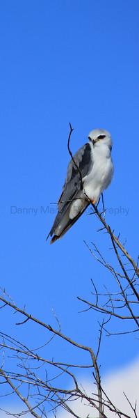 Black-winged Kite<br /> Kruger National Park, South Africa