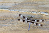 Twelve-spotted Skimmer<br /> Logan County, Kansas.