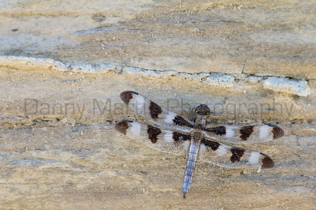 Twelve-spotted Skimmer<br /> Logan County, Kansas.