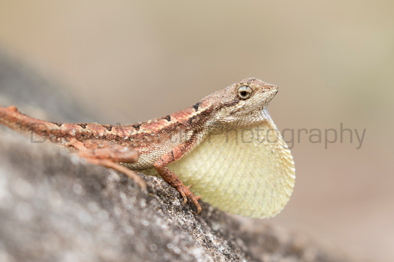 Spiny-headed Fan-throated Lizard (male displaying)<br /> Telangana, India