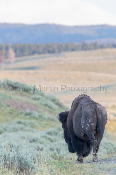 American Bison bull<br /> Park County, Wyoming