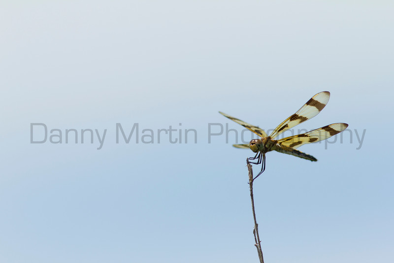 Halloween Pennant (female)<br /> Douglas County, Kansas