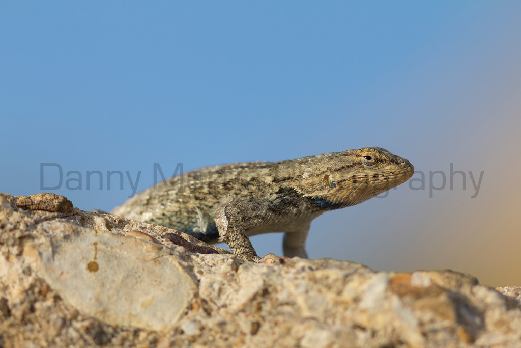 Prairie Lizard (male)<br /> Otero County, Colorado