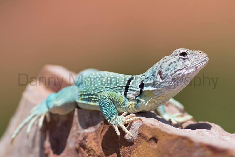 Eastern Collared Lizard (male)<br /> Caprock Canyon State Park, Briscoe County, Texas