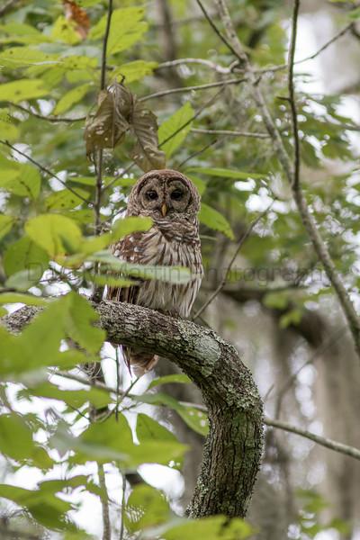 Barred Owl<br /> Jefferson Parish, Louisiana
