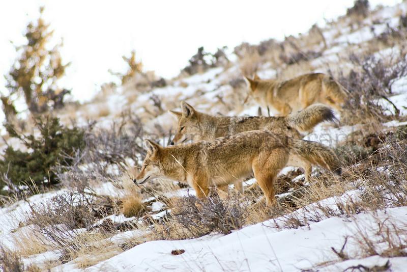 Coyotes marking their territory<br /> Larimer County, Colorado