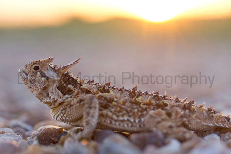 Texas Horned Lizard (male) at sunset. <br /> Cottle County, Texas.