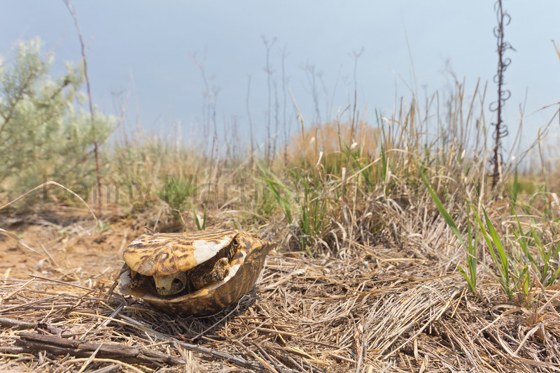 The battle long over.  Ornate Box Turtle skeleton in sand-sage prairie.  <br /> Baca County, Colorado.
