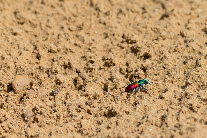 tiger beetle<br /> McPherson County, Kansas