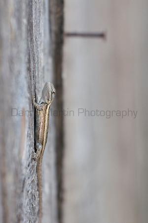 Prairie Lizard<br /> Briscoe County, Texas