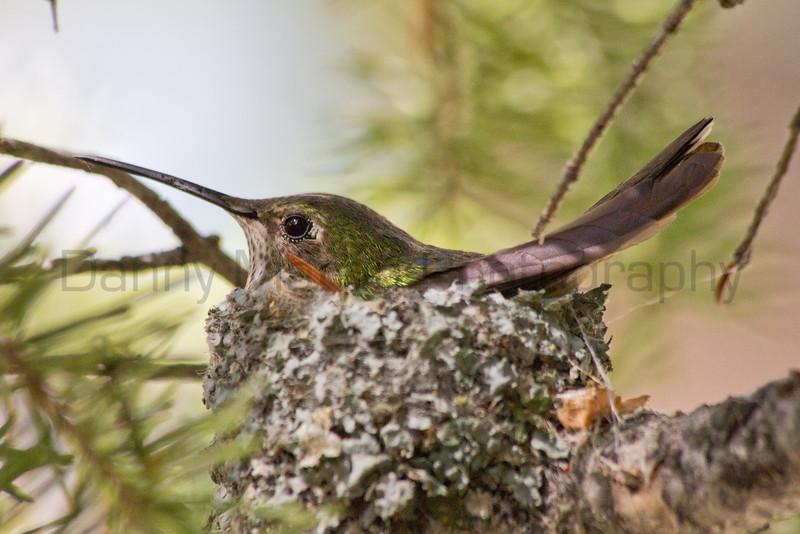 Broad-tailed Hummingbird on nest<br /> Rocky Mountain National Park, Colorado