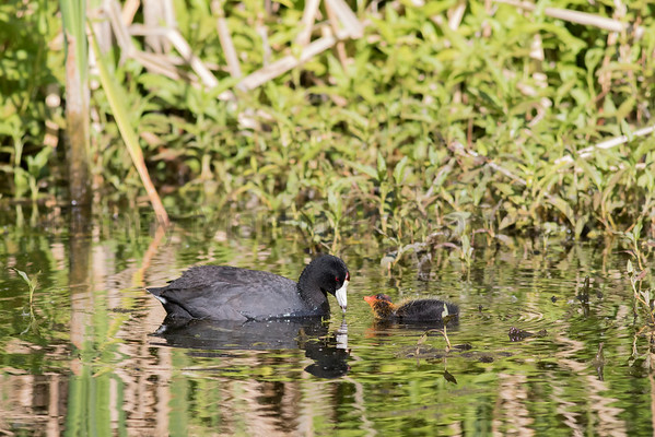 American Coot feeding young<br /> Santa Cruz County, Arizona