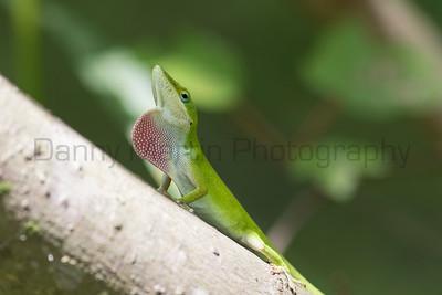 Green Anole (male, territorial display) Tangipahoa Parish, Louisiana